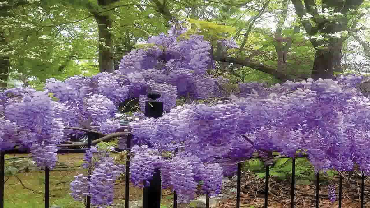 Blue moon wisteria vine fragrant foot long flowers attracts blue moon wisteria vine fragrant foot long flowers attracts hummingbirds 2 izmirmasajfo
