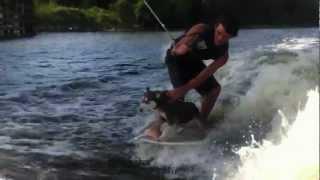 "Wake Surfing Siberian Husky ""hangin 20"""