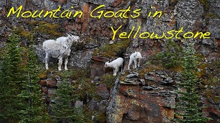 Mountain Goats in Yellowstone