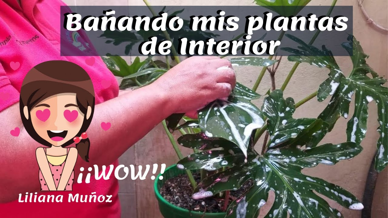 BAÑANDO MIS PLANTAS DE INTERIOR / Liliana Muñoz