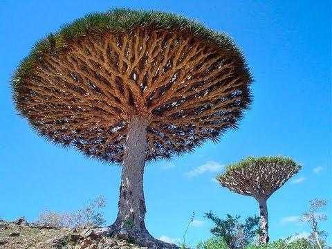 Самые загадочные деревья