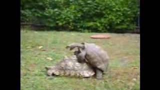 Tortoise Love Story