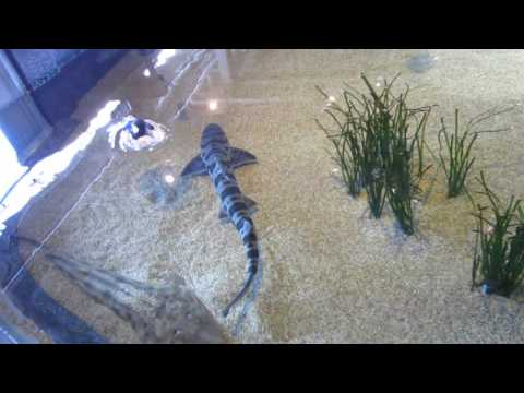 Leopard Sharks Swimming & Shovelnose Guitarfish - Monterey Bay Aquarium, California