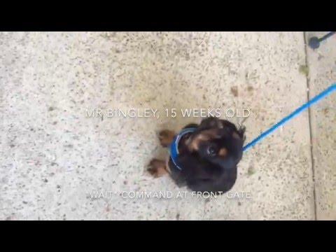 Puppy Training: Adding the Wait Command, English Toy Spaniel (aka King Charles Spaniel)