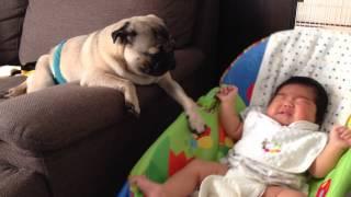 赤ちゃんをあやすパグ犬.