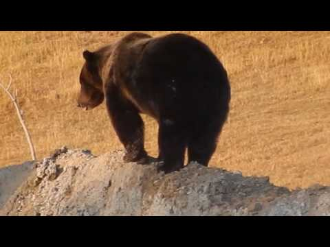 Yellowstone Grizzly Bear at Geyser