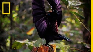Amazing Avian Evolution | Birds of Paradise
