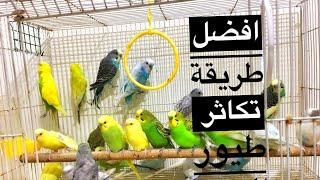 اسهل طريقة للإنتاج 🐣 طيور الحب او ( البادجي )
