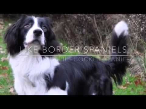 Fun Facts About Border Collies episode 3