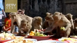 Monkeys in Thailand are treated to a five-star banquet
