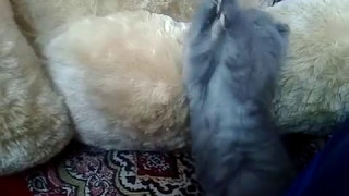 Непоседа Масяня. Шотландский котенок. Продолжение самостоятельной жизни. Смотри интересно.