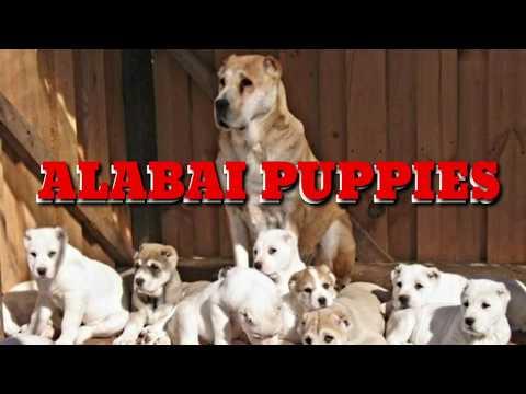 RARE: ALABAI Pups (CENTRAL ASIAN SHEPHERD) Livestock Guardian. Ovcharka, Aziat, Central Asian Mastif
