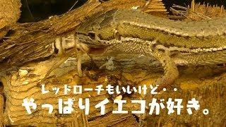 【閲覧注意】カナヘビのためにレッドローチを導入、エサとして与えるのはちょっと先の話。