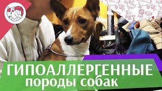 5 гиппоаллергенных пород собак на ilikepet