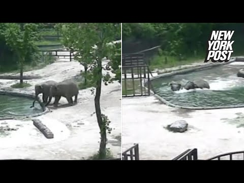 Elephants save baby elephant from drowning in zoo pool | New York Post