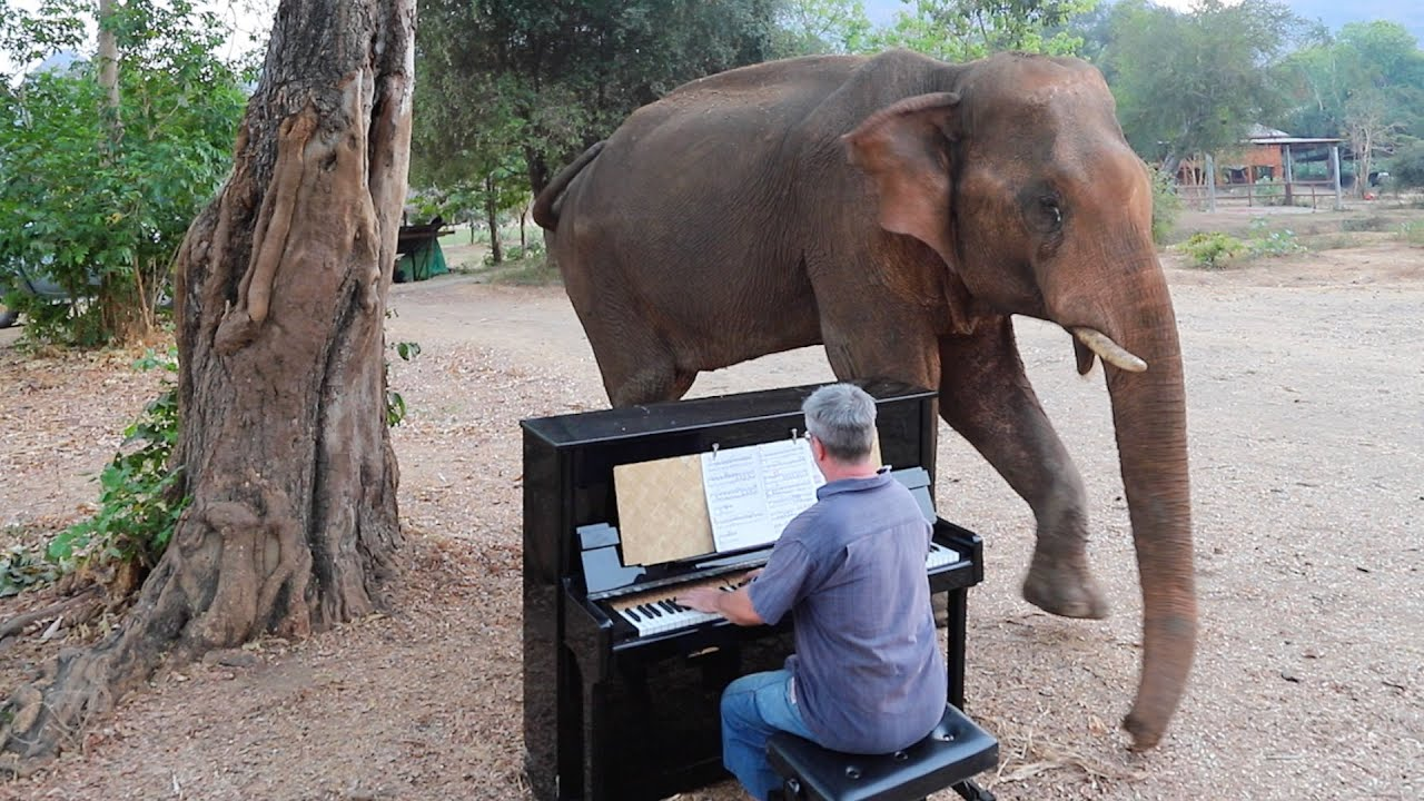 Chaichana The Bull Elephant Moves To Beethoven S Piano Music Youtube