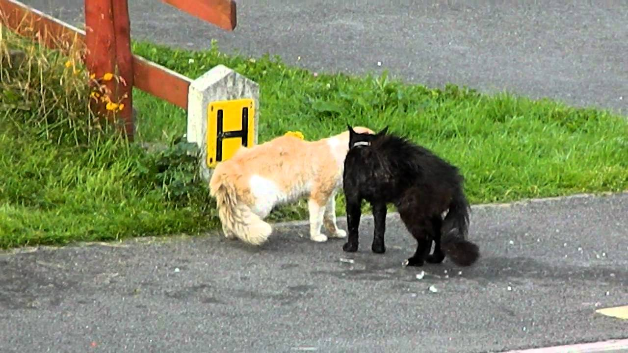 Savannah Cat Vs Dog Fight