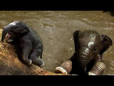 Chased by a rescued baby elephant (very funny)