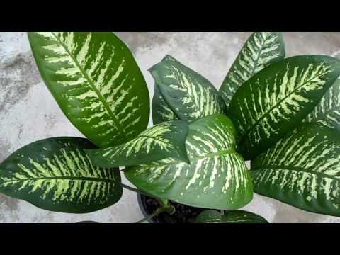Dieffenbachia or Dumb Cane – A poisonous Plant