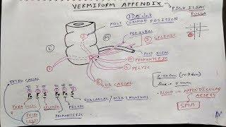 Vermiform appendix anatomy