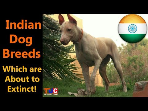 Indian Dog Breeds Which Are About To Extinct!! : The Ultimate Channel