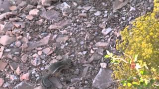 Песчаные белки   Grand Canyon  Галапаи 17 09 2012