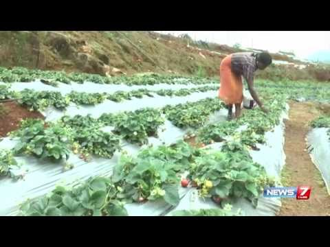 Strawberry Farmers Request Govt To Give Subsidy At Nilagiri | News7 Tamil