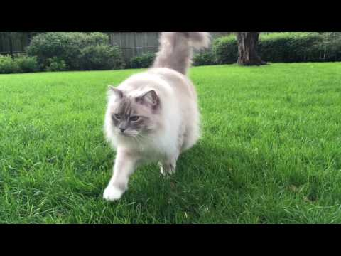 Chiggy coming at ya - Blue Lynx Mitted Ragdoll Cat Trigg - Floppycats