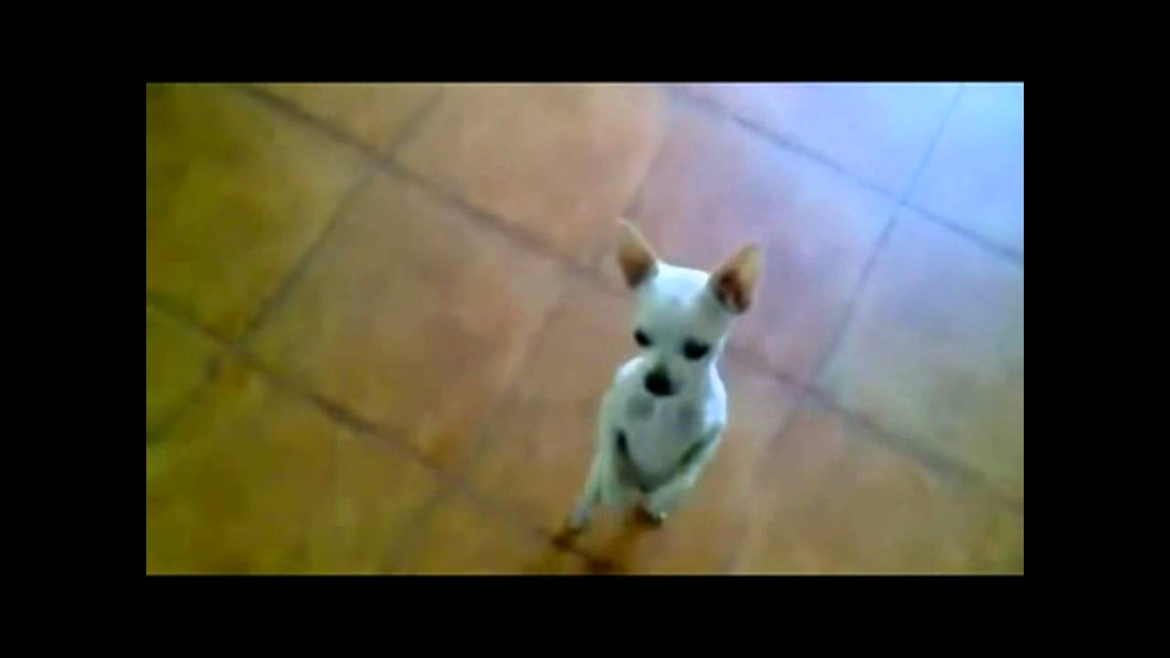 chihuahua dancing salsa cute dog chihuahua dancing latin youtube 949