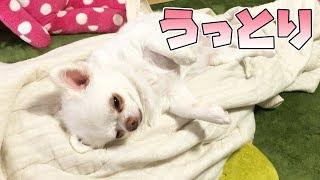 ママの上でごろん!気持ち良くてうっとりwする犬【放心状態?】|Dog to relax thumbnail