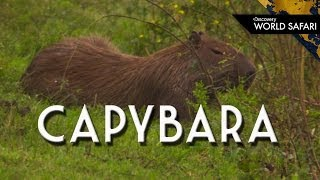 Capybara: How Big is the World