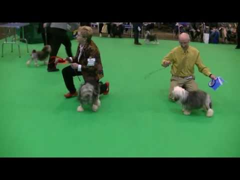 Lowchen (Little Lion Dog) in Crufts 2017