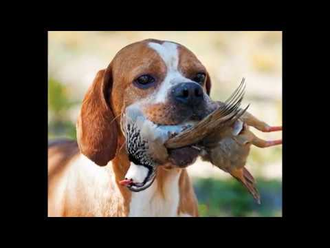 animals Pointer Dog Breed video