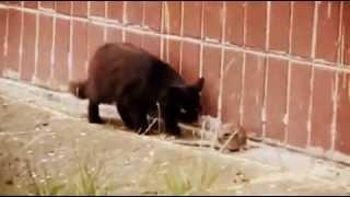 Копия видео Крыса против стаи котов home-pet.ru.flv