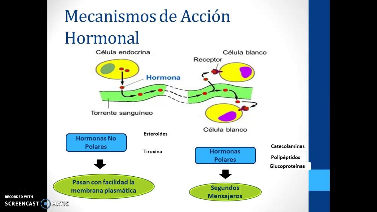Mecanismos de Acción Hormonal - YouTube