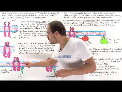 Insulin Signal Transduction Pathway