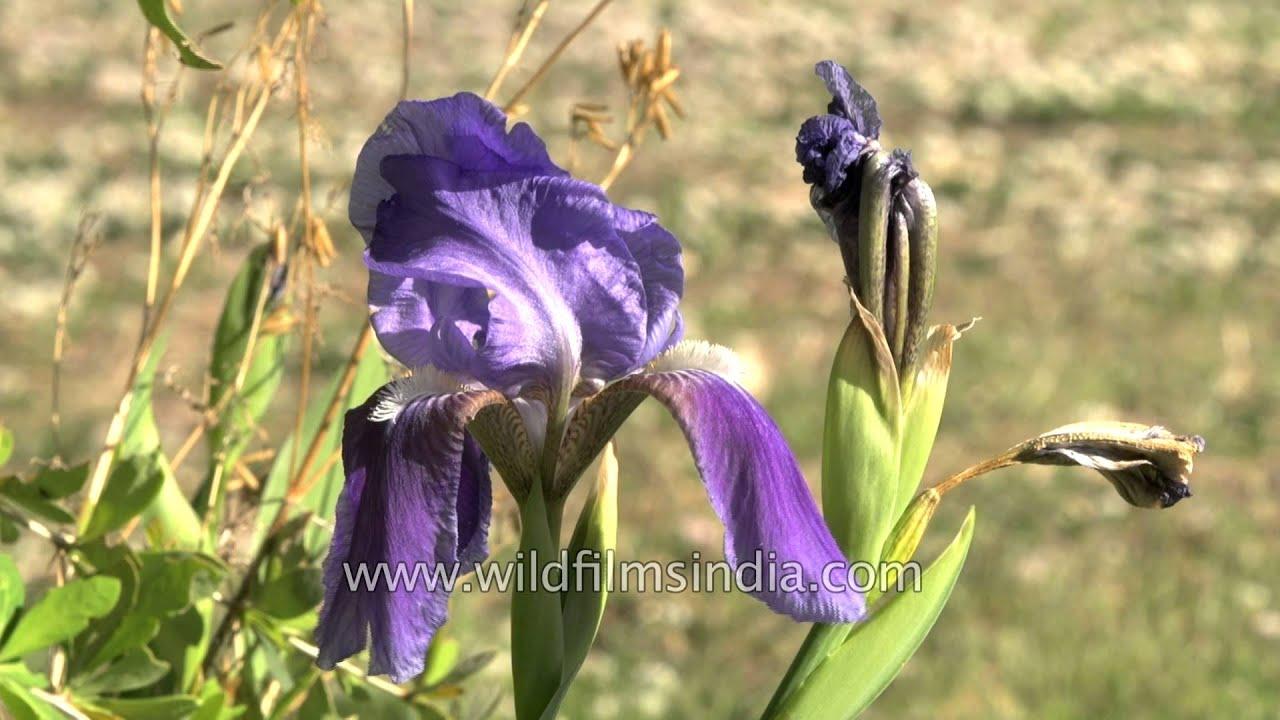 Deep Blue Bearded Iris Youtube