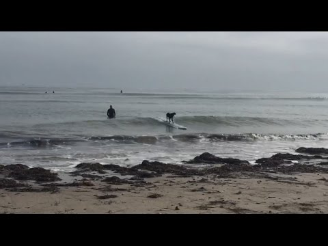 Dog surfing takes gnarly spill, tries to get back on