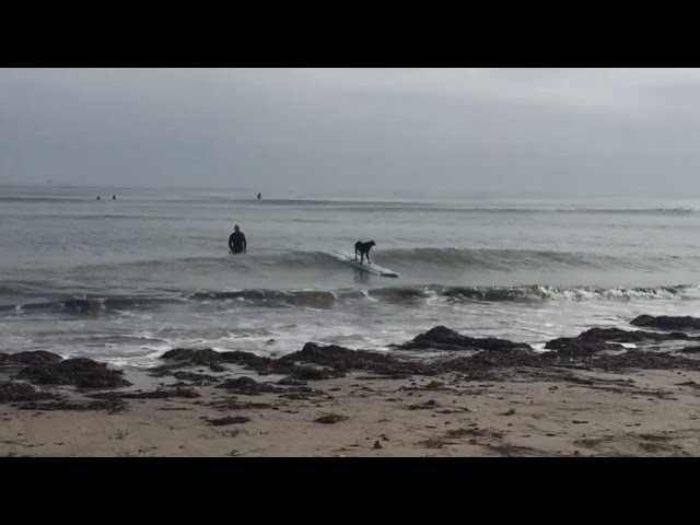 dog-surfing-takes-gnarly-spill-tries-to-get-back-on