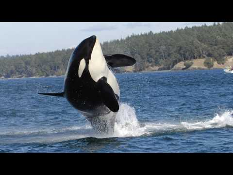 BBC News Granny's legacy: Five things we learned from the iconic orca