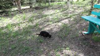 Соседский кот на участке