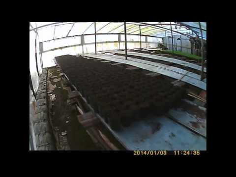 видео: пикировка капусты как сажать и выращивать капусту