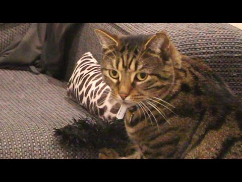 Tabby Cat Learns How to Play With New Cat Toy - CAT TEACHES CAT.