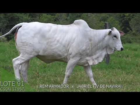 LOTE 91 LEILÃO TOUROS NAVIRAI