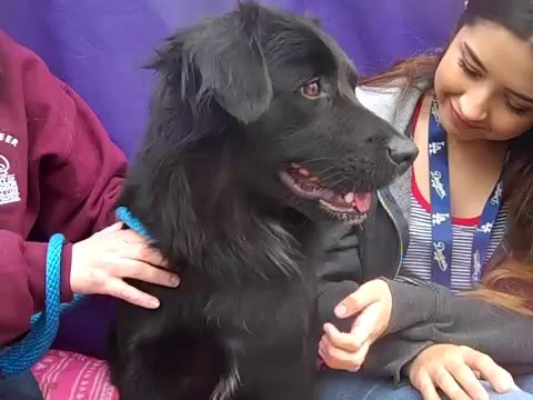 A4912977 Brianna | Flat Coated Retriever Mix