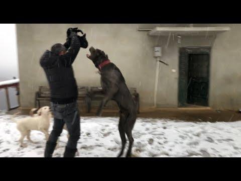 Pars ve narkozun elinden kediyi zor kurtardm #canecorso #dogoargentino #jackrussell #dog #trabzon