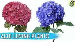 حمض النباتات المحبة: قائمة النباتات   كيفية جعل التربة الحمضية   PH التربة اختبار