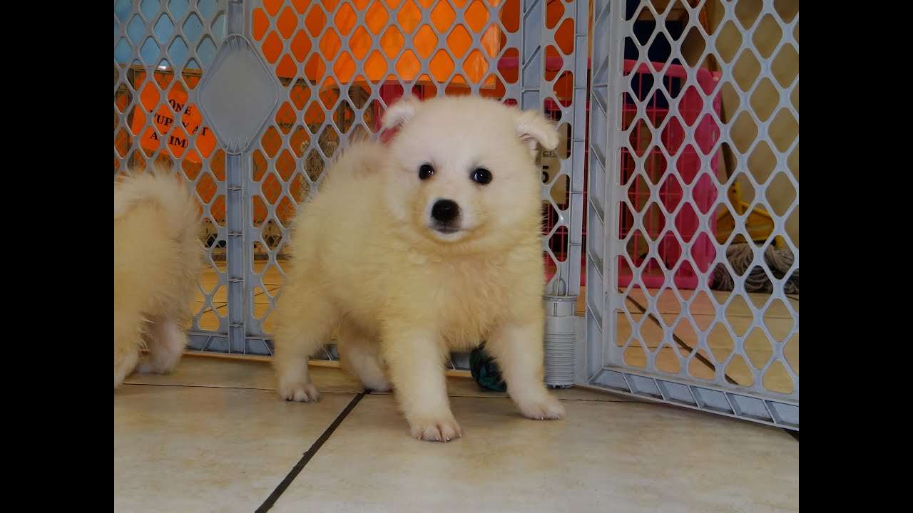American Eskimo Puppies Dogs For Sale In Charlotte North