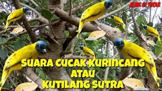 Suara Pikat Burung Cucak Kurincang Kutilang Sutra