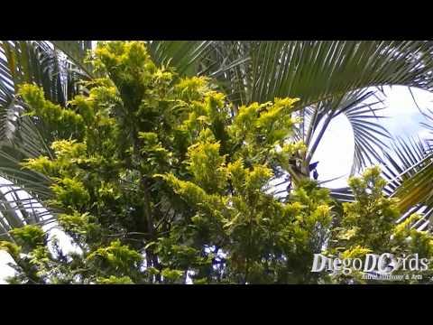 Chamaecyparis obtusa - Japanese cypress (Cupressaceae) Cipreste